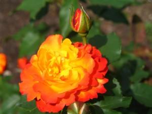 140701_trandafir 1