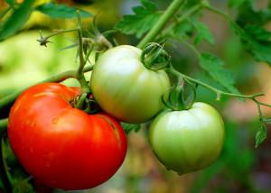 tomate rosii